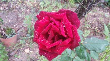 Rose Segur 061116